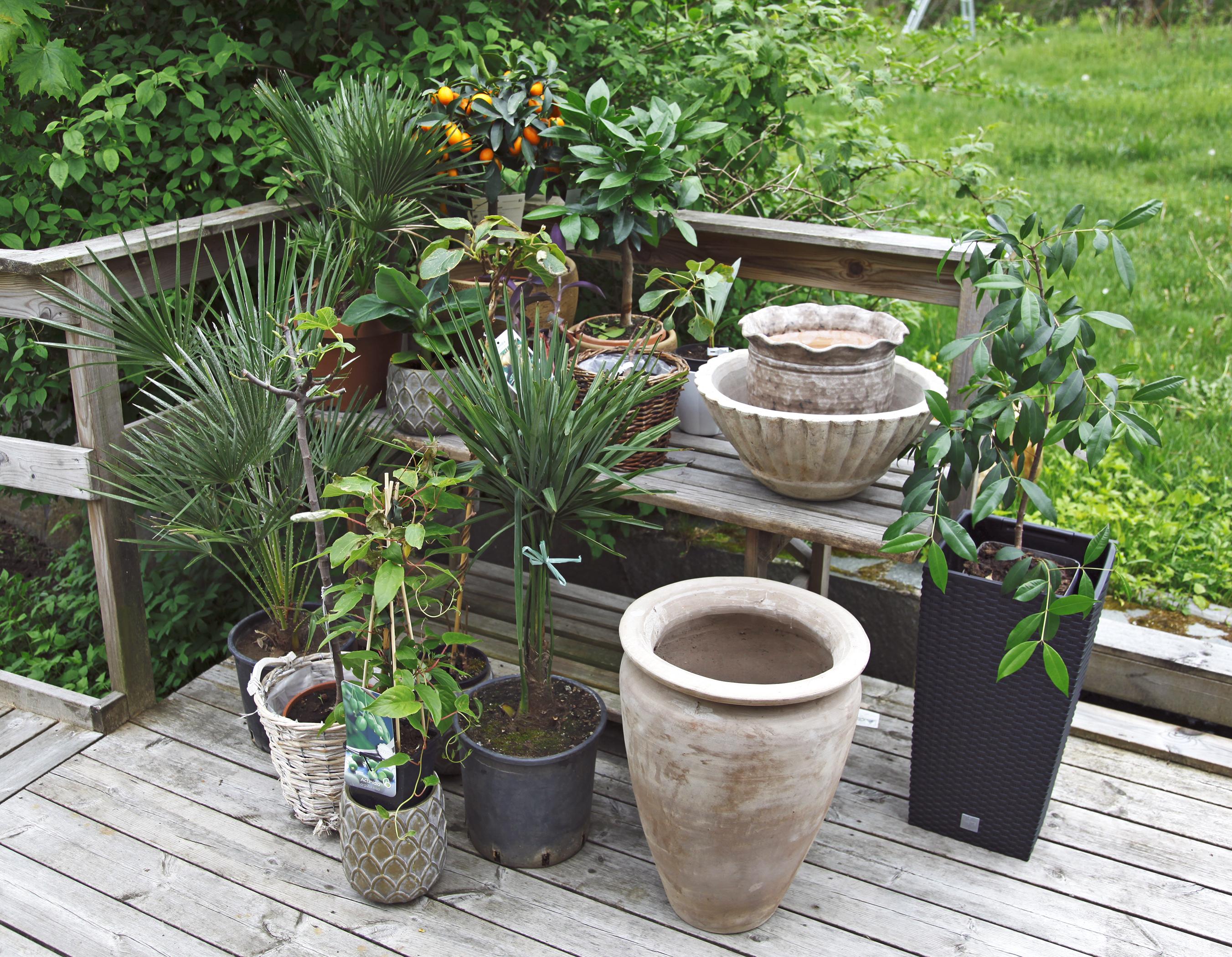 tropiska växter i sverige